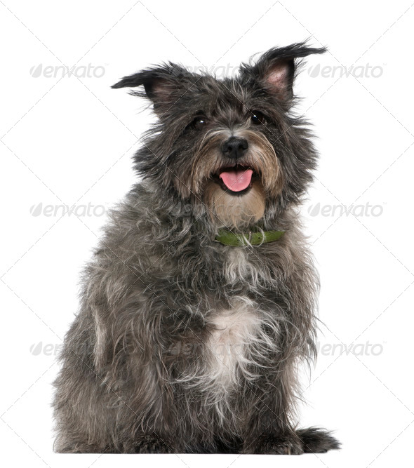 Mixed-breed, 8 years old, sitting in front of white background - Stock Photo - Images
