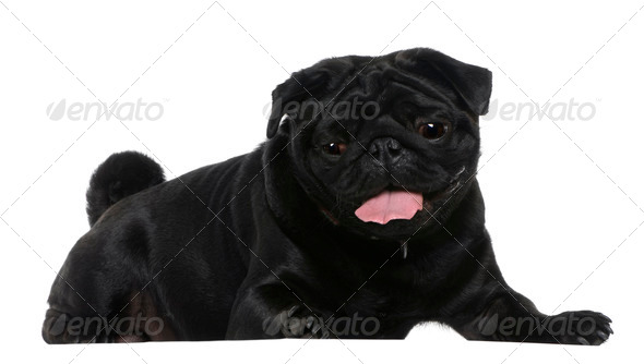 Pug, 2 years old, lying in front of white background - Stock Photo - Images