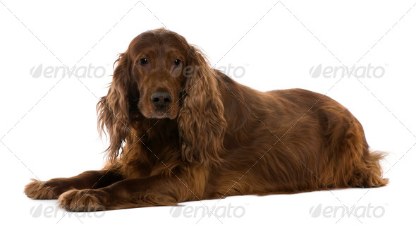 Irish setter, 8 years old, lying in front of white background - Stock Photo - Images