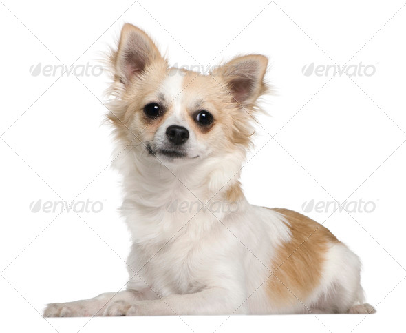 Chihuahua, 7 months old, lying in front of white background - Stock Photo - Images