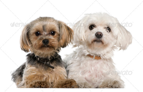 Maltese, 8 years old,, Yorkshire terrier, 12 months old, lying in front of white background - Stock Photo - Images