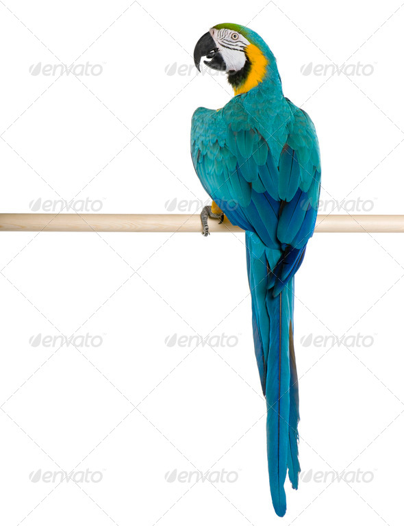 Young Blue-and-yellow Macaw perching in front of white background - Stock Photo - Images