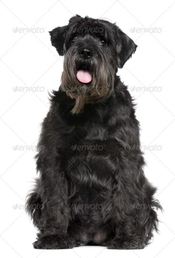 Schnauzer, 6 years old, sitting in front of white background - Stock Photo - Images