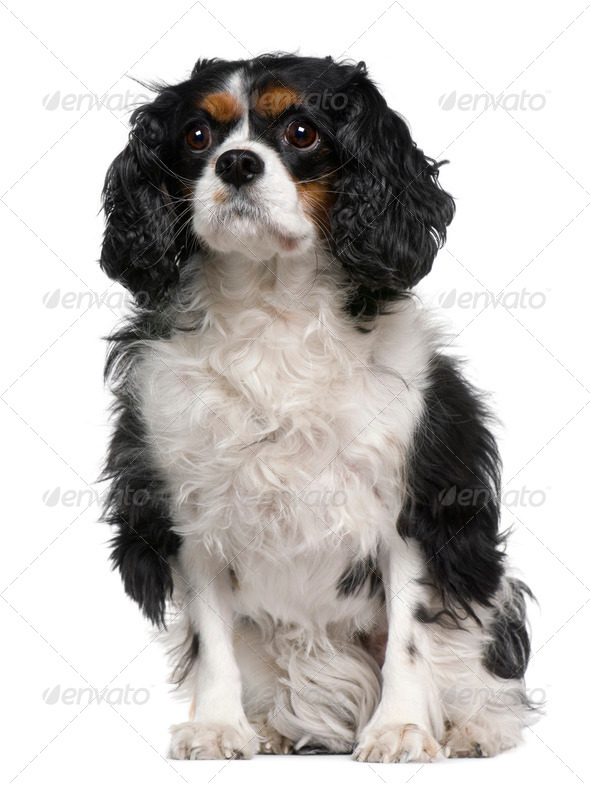 Cavalier king Charles, 6 years old, sitting in front of white background - Stock Photo - Images