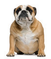 English Bulldog, 3 years old, sitting in front of white background