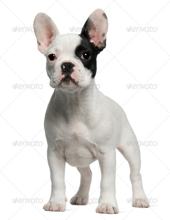French Bulldog puppy, 3 months old, standing in front of white background - Stock Photo - Images