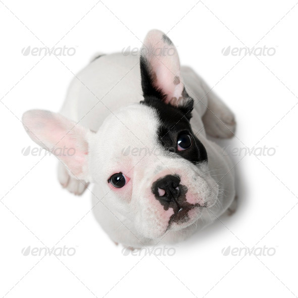 French Bulldog puppy, 3 months old, sitting in front of white background - Stock Photo - Images