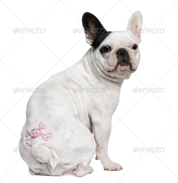 French Bulldog with tattoo sitting in front of white background - Stock Photo - Images