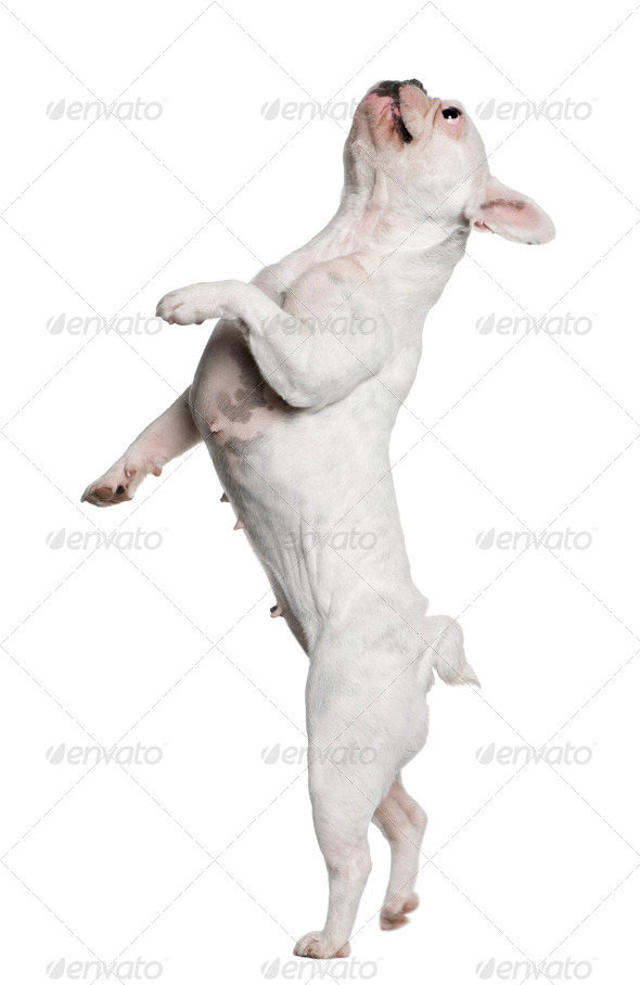 French Bulldog standing on hind legs in front of white background - Stock Photo - Images