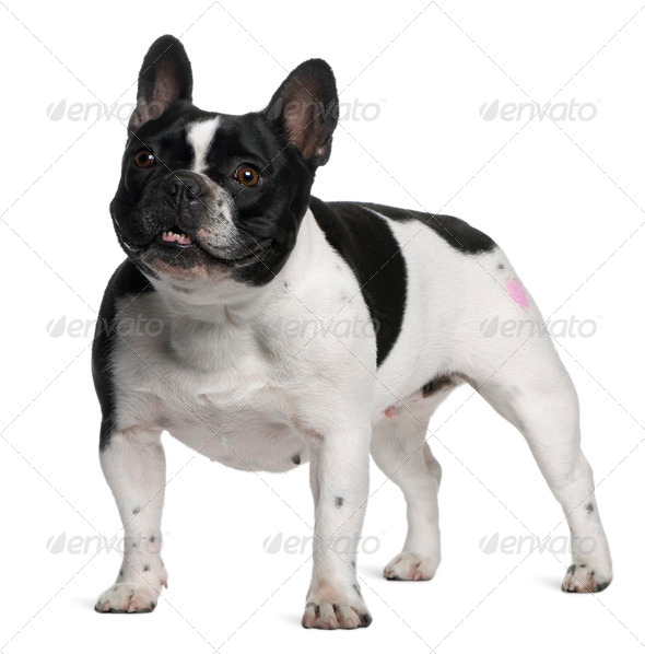 French Bulldog with tattoo standing in front of white background - Stock Photo - Images