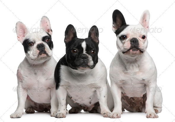 Group of French Bulldogs sitting in front of white background - Stock Photo - Images