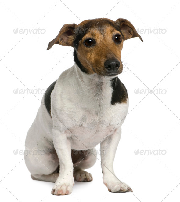Jack Russell Terrier, 4 years old, sitting in front of white background - Stock Photo - Images