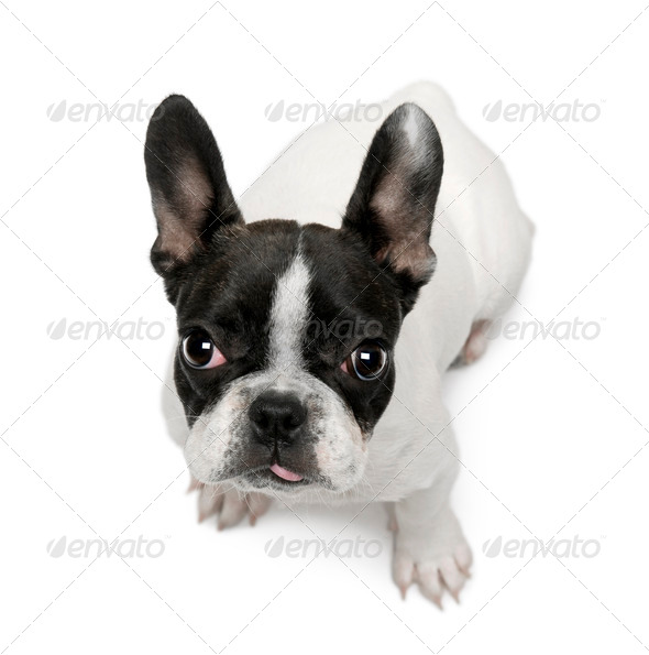 French Bulldog puppy, 4 months old, sitting in front of white background - Stock Photo - Images