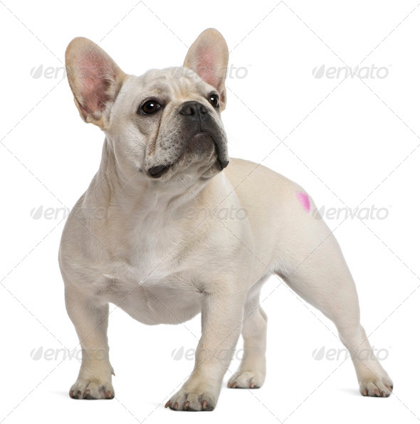 French Bulldog, 12 months old, with tattoo standing in front of white background - Stock Photo - Images