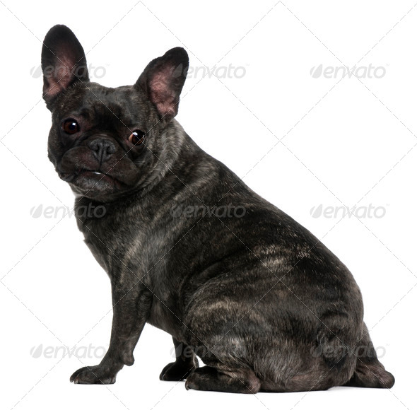 French Bulldog, 4 years old, sitting in front of white background - Stock Photo - Images