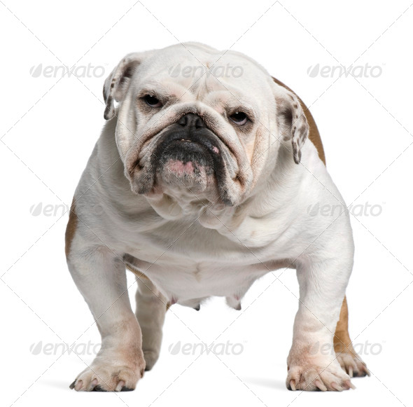 English Bulldog, 5 years old, standing in front of white background - Stock Photo - Images