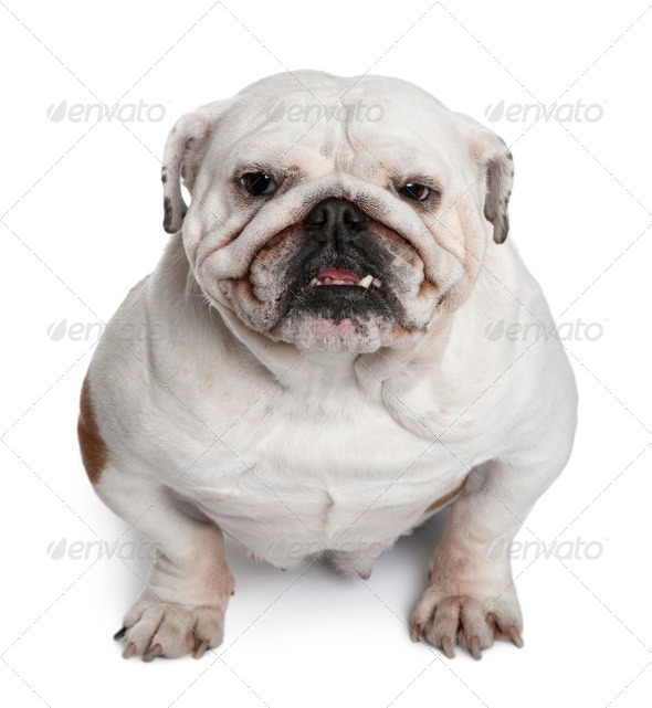 English Bulldog, 5 years old, sitting in front of white background - Stock Photo - Images