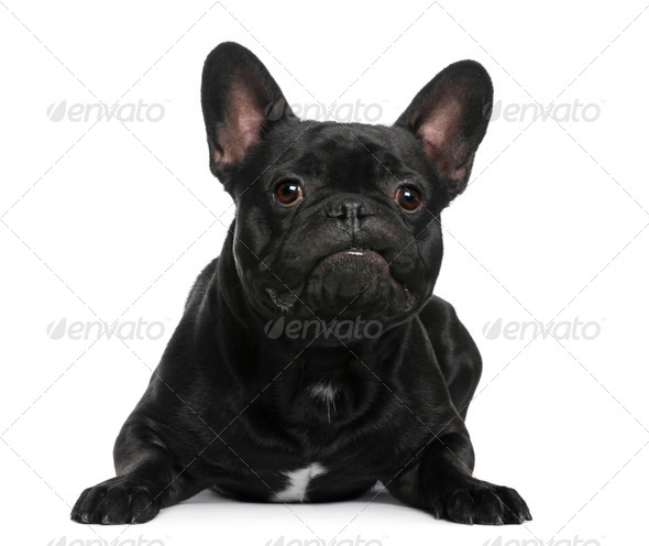 French Bulldog lying in front of white background - Stock Photo - Images