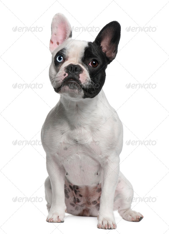 French Bulldog sitting in front of white background - Stock Photo - Images