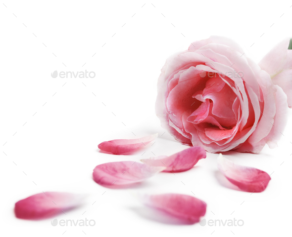 Rose petals - Stock Photo - Images