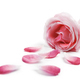 Rose petals - PhotoDune Item for Sale