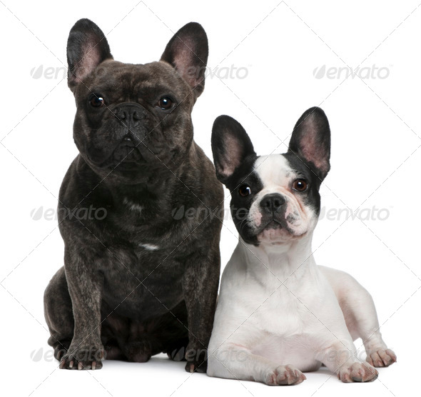 French Bulldogs, 4 and 3 years old, sitting and lying in front of white background - Stock Photo - Images