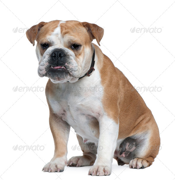 English Bulldog, 18 months old, sitting in front of white background - Stock Photo - Images