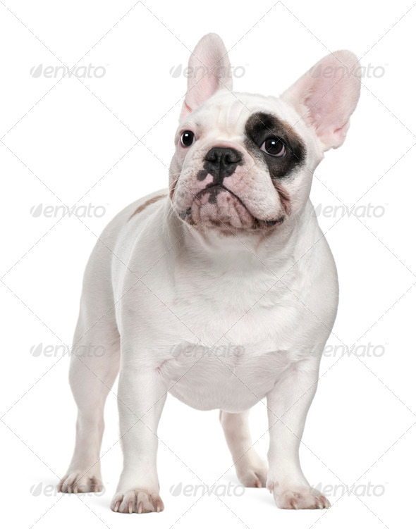 French bulldog, 12 months old, standing in front of white background - Stock Photo - Images