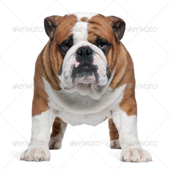 English Bulldog, 2 years old, standing in front of white background - Stock Photo - Images