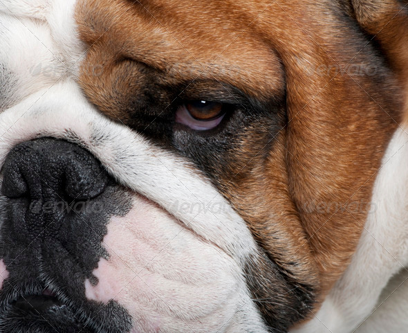 Close-up of English Bulldog, 2 years old - Stock Photo - Images