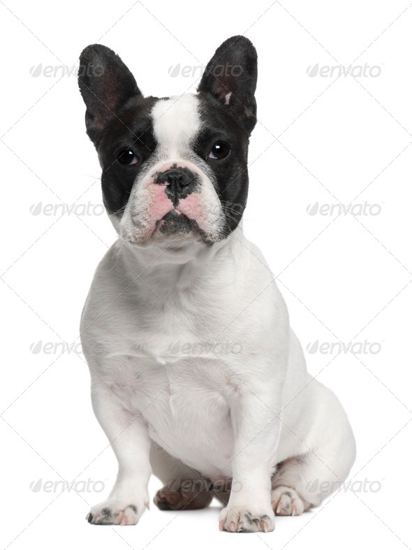 French Bulldog, 13 months old, sitting in front of white background - Stock Photo - Images