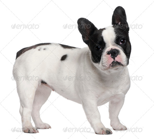French Bulldog, 13 months old, standing in front of white background - Stock Photo - Images
