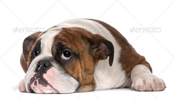 English Bulldog puppy, 4 months old, lying in front of white background - Stock Photo - Images