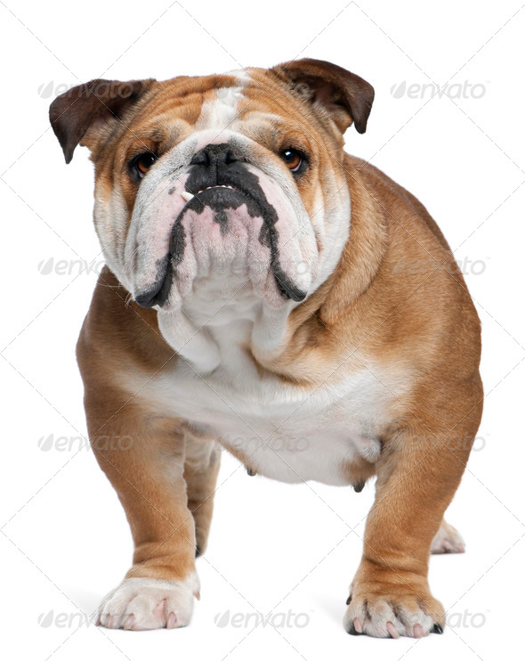 English Bulldog, 18 months old, standing in front of white background - Stock Photo - Images