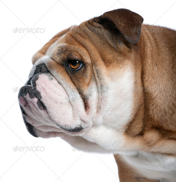 Close-up of English Bulldog, 18 months old, in front of white background - Stock Photo - Images