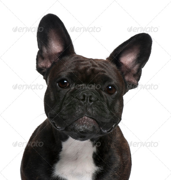 Close-up of French Bulldog, 18 months old, in front of white background - Stock Photo - Images