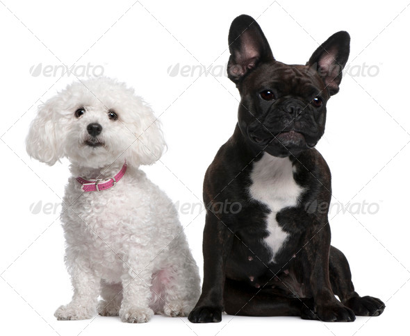 French Bulldog, 18 months old and Bichon Frise, 3 years old, sitting in front of white background - Stock Photo - Images
