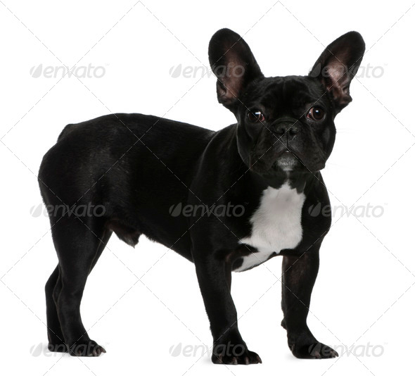 French Bulldog puppy, 7 months old, standing in front of white background - Stock Photo - Images