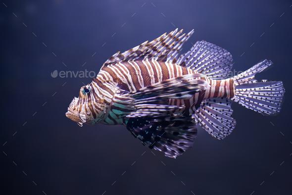 close up o lionfish, pterois volitans - Stock Photo - Images
