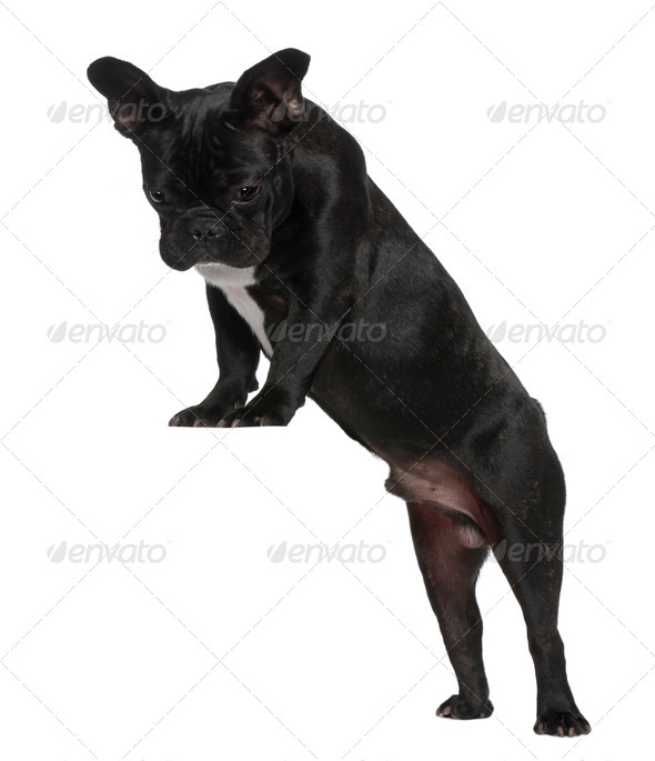 French Bulldog puppy, 7 months old, standing near red crate in front of white background - Stock Photo - Images
