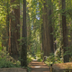 Misty Trail Through the Redwoods - PhotoDune Item for Sale