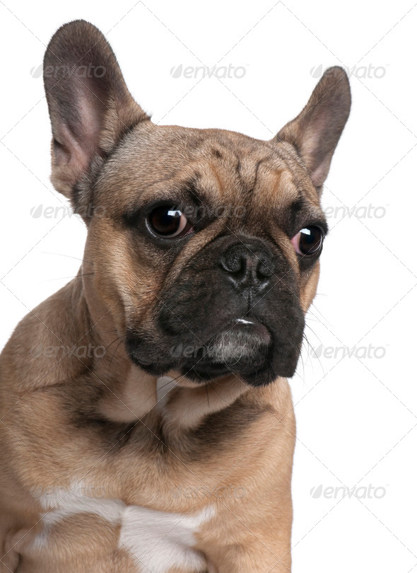 Close-up of French Bulldog puppy, 6 months old, in front of white background - Stock Photo - Images