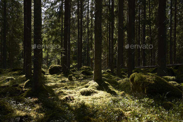 Scandinavian forest with the sun in the background - Stock Photo - Images