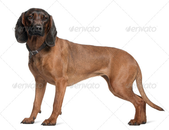 Bavarian Mountain Hound, 3 years old, standing in front of white background - Stock Photo - Images