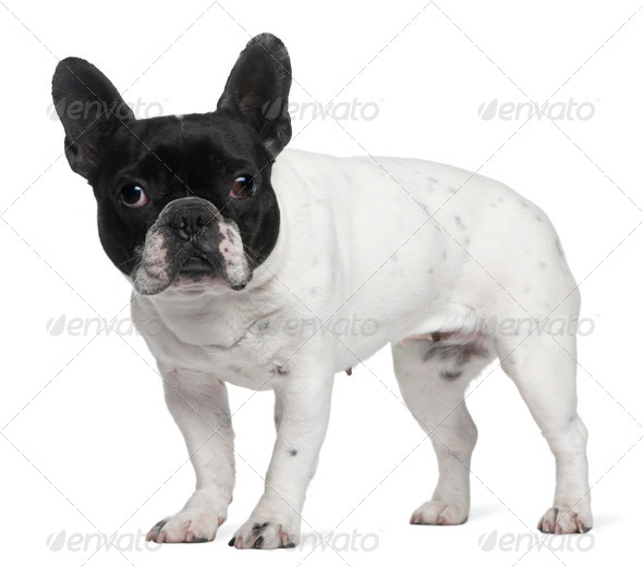 French Bulldog, 8 years old, standing in front of white background - Stock Photo - Images