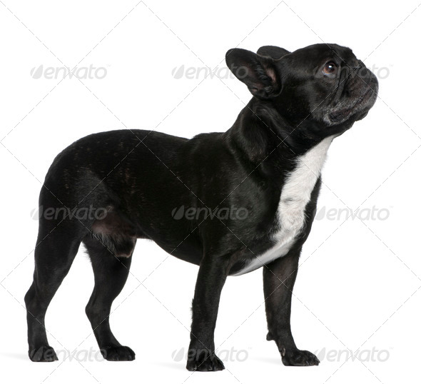 French Bulldog, 6 years old, standing in front of white background - Stock Photo - Images
