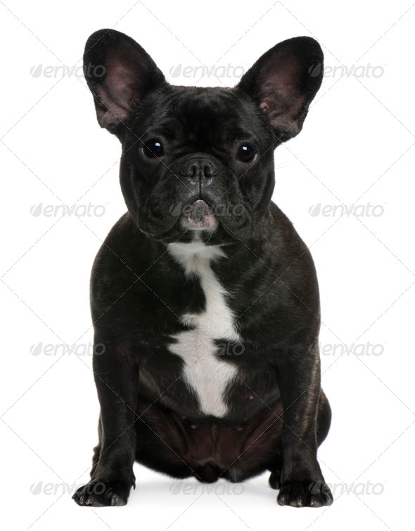 French Bulldog, 12 months old, sitting in front of white background - Stock Photo - Images