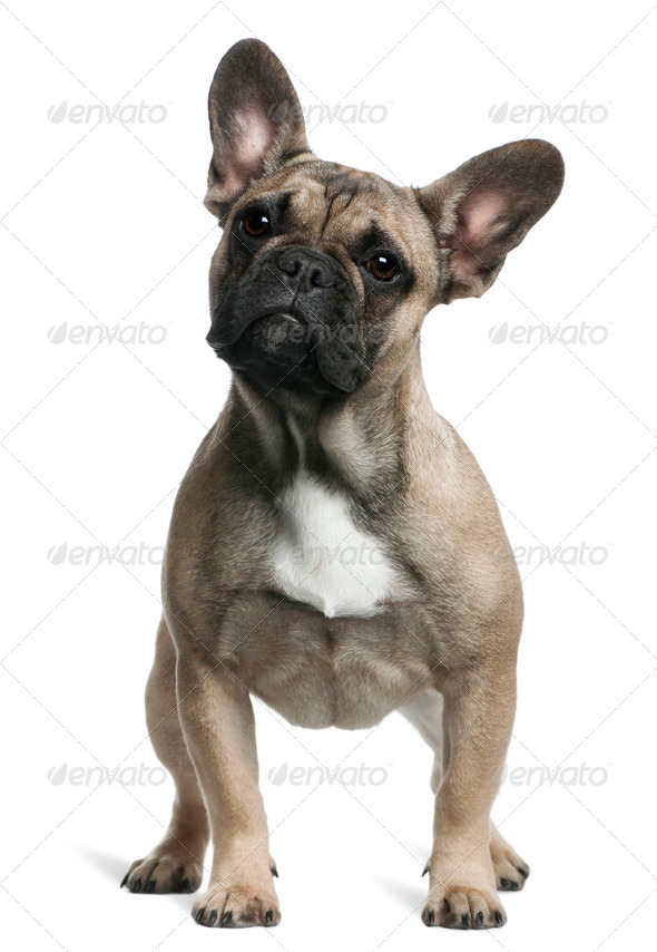 French Bulldog puppy, 8 months old, standing in front of white background - Stock Photo - Images
