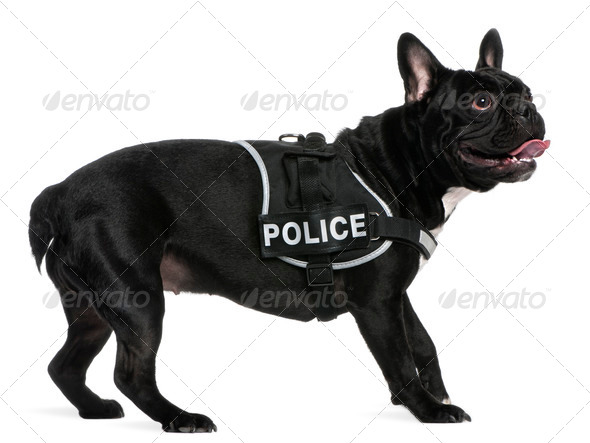French Bulldog, 2 years old, wearing a police harness standing in front of white background - Stock Photo - Images