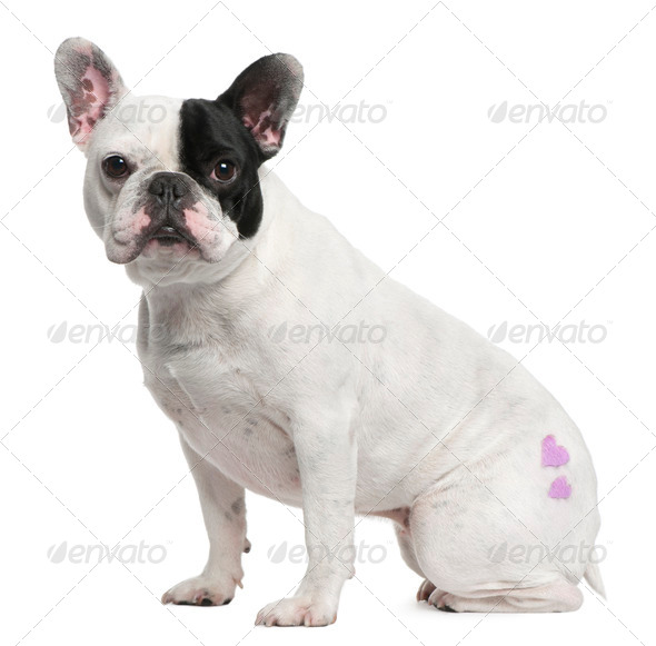 French Bulldog, 3 years old, with tattoo sitting in front of white background - Stock Photo - Images